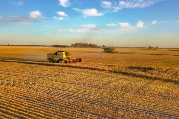 Cierre de campaña con 170.000 toneladas de trigo en el Chaco