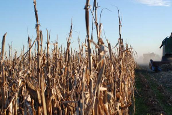 Con rindes variables, la recolección de maíz llegó al 75% en el centro norte de Santa Fe